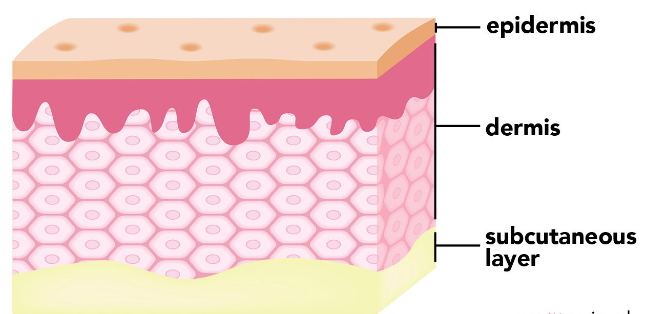 Understanding Your Skin Layer By Layer The Pretty Pimple